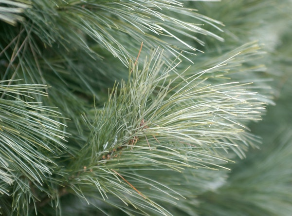 A White Pine from the Pinestead Tree Farms in Isanti.