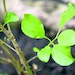 Common buckthorn (Rhamnus cathartica) is a naturalized European plant that is invading many natural areas and native woodlands in Minnesota. It grows