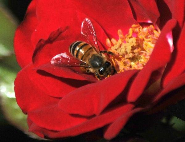 A bee pollinates a flower in this 2010 photo.