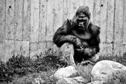 During a birthday party and memorial for Gordy, Schroeder left the party inside to sit alone in the ape's outdoor enclosure.