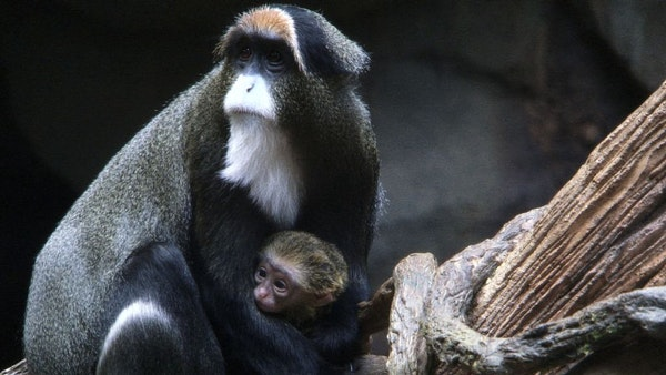 An infant DeBrazza's monkey made its public debut at the Minnesota Zoo in Apple Valley, Minn. The five-day old monkey was protected by its mother who