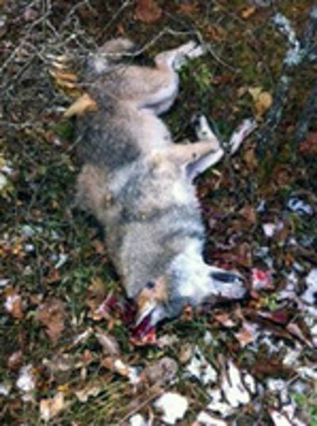 Grouse hunter who bagged wolf won't face sanctions