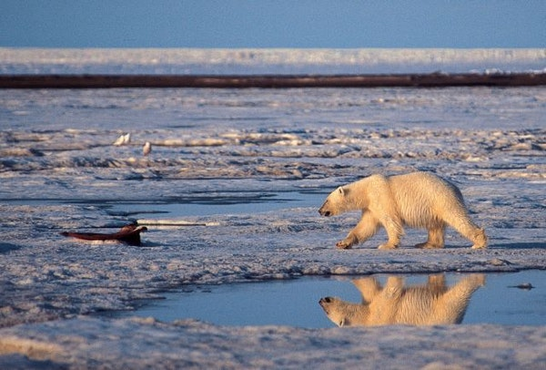 A polar bear wanders through the Arctic National Wildlife Refuge in Alaska.