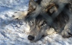 Wildlife advocates on Thursday petitioned federal officials to restore federal protections for gray wolves throughout the U.S. West.
