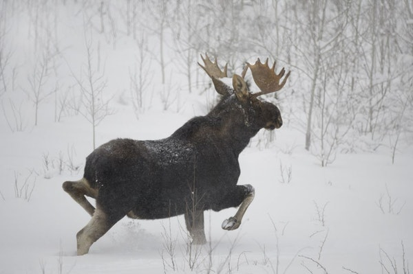 A bull moose ran in the snow in a prime habitat area on the edge of the Boundary Waters wilderness area in northern Minnesota.