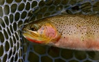 Spring Dry Fly Fishing In Montana