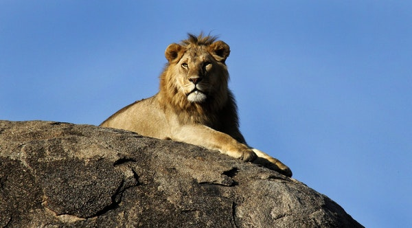 A stately lion surveyed his kingdom from a rocky overlook in Tanzania.