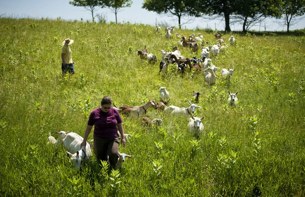 Kate Wall, foreground, and Lynne Reeck, owners of Singing Hills Goat Dairy, led their herd to a fresh pasture on their 25-acre farm near Nerstrand, Mi