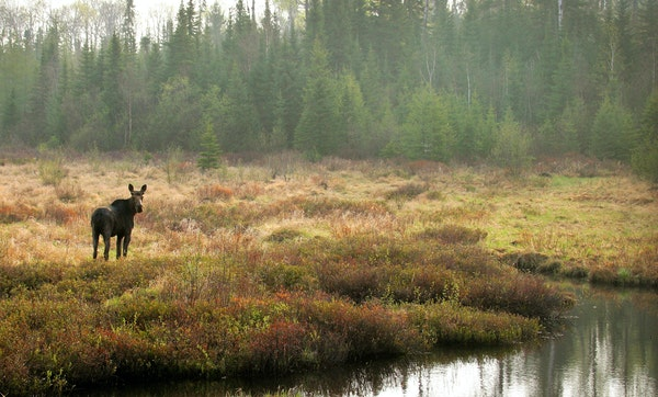A bull moose, sprouting the bumps of new antler growth on its head, grazed in a swamp off the Gunflint Trail in northeastern Minnesota — possibly on