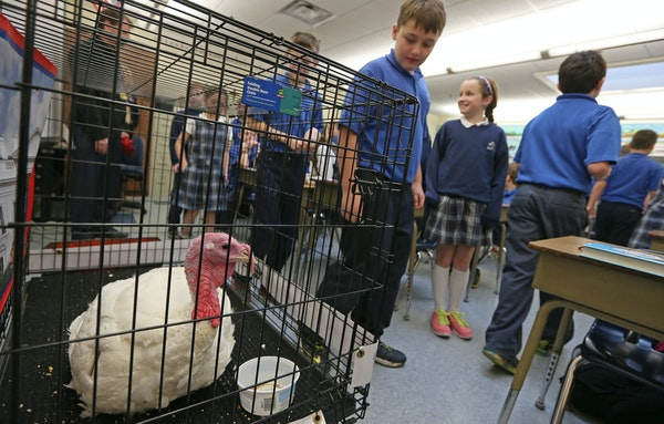 Fourth-graders from Nativity of Our Lord School in St. Paul walked past one of the turkeys from this year's presidential flock at the John Burkel tu