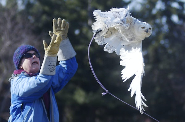 The two-year-old snowy owl takes its first flight on Wednesday outside the Raptor Center on the University of Minnesota campus after being injured in