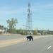 Wayward bear crossing Hwy. 13 in Savage over the weekend.