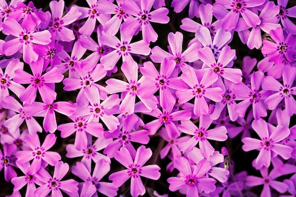 A patch of blooming Phlox flowers near Little Mantrap Lake south of Itasca State Park.