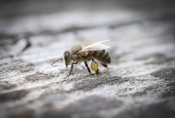 A bee with resin on her leg photographed on August 8, 2014, in St. Paul, Minn.