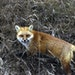 A red fox nabbed a mouse or mole by the roadside near the Gunflint Trail in northeastern Minnesota in 2002.