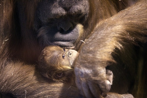 Markisa, a 28 year-old Sumatran Orangutan holds her three-week-old baby girl at the Como Park Zoo & Conservatory on Thursday, February 5, 2015.