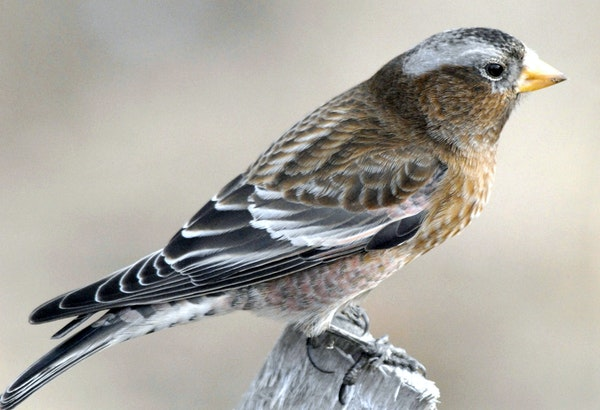 Gray-crowned rosy-finch credit: Jim Williams, special to the Star Tribune