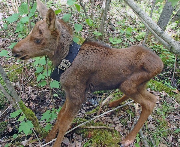 A days-old moose calf showed off a radio collar that expands with growth.