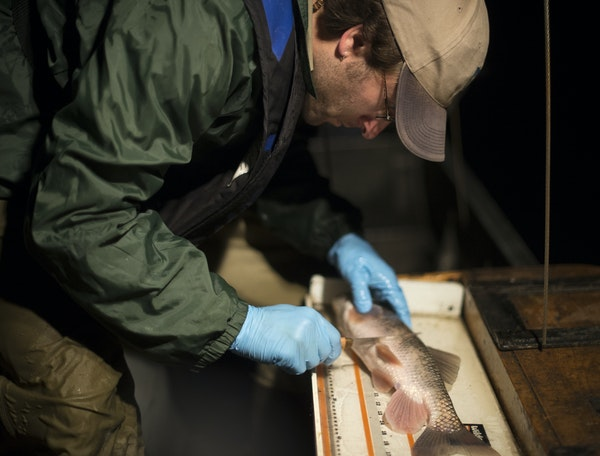 DNR biologists and volunteers tagged suckerfish on Pearl Lake Tuesday night. The state has begun an effort to create refuge lakes for cold water fish.