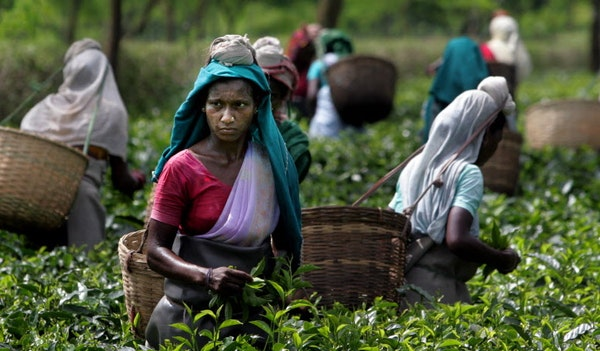 Women plucked tea leaves at a tea garden at Jorhat, India. Tea plantations employ nearly 3 million people, mostly women.