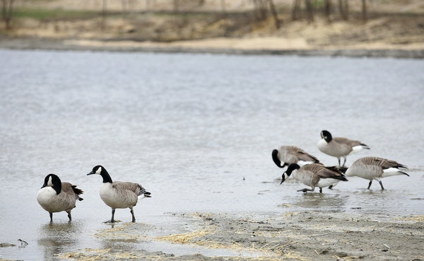A former sewage pond in Long Lake is being converted back into a wetland.