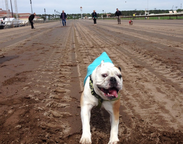 """Here's Fergie, one of the bulldogs racing Monday in Canterbury's """"Running of the Bulldogs."""""""