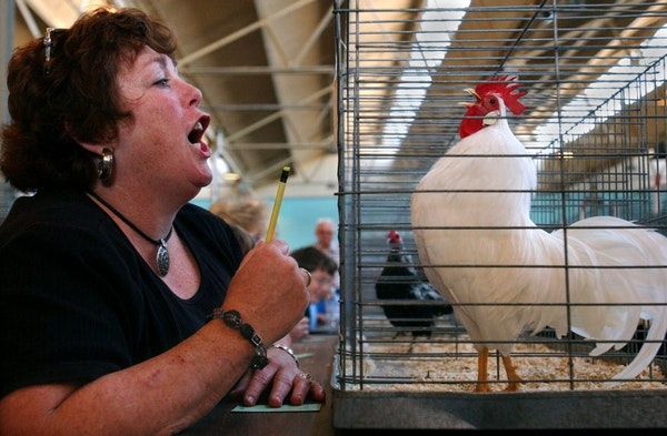Poultry exhibits, like this Rooster Crowing Contest at the 2003 Minnesota State Fair, have been canceled this year at the state and county fairs becau