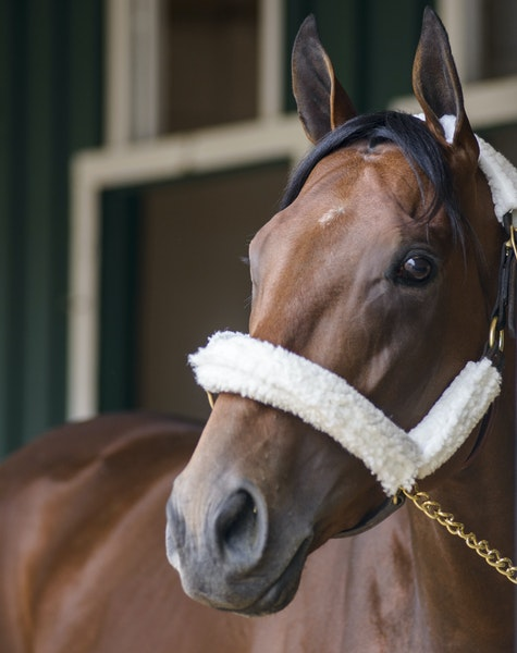 A Preakness win by American Pharoah will fuel excitement; a loss will make the Belmont moot.