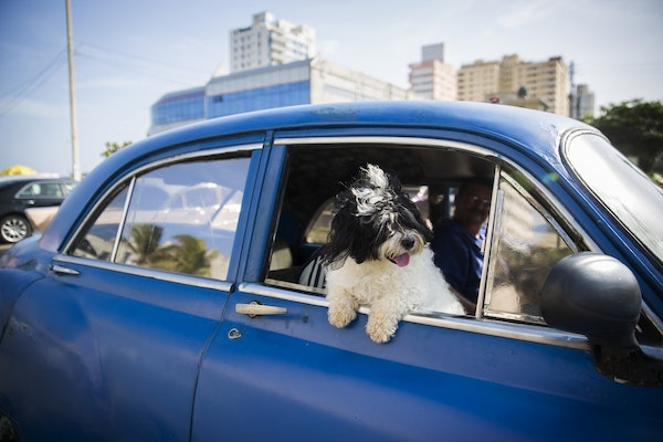 Outside of the Melia Cohiba, a dog hangs out in an old car in Havana, Cuba on Thursday, May 14, 2015.
