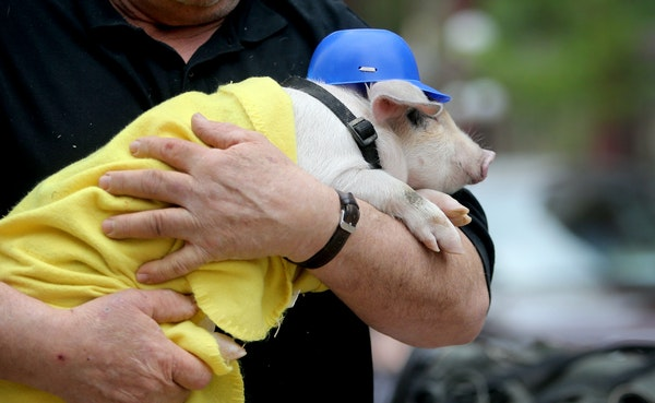 The yet unnamed St. Paul Saints mascot pig arrives for the world's largest game of catch Wednesday, May 20, 2015 in Lowertown, near Mears Park in adva