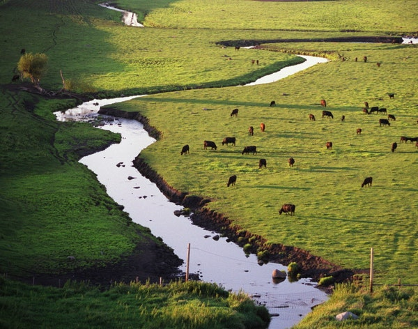 Agriculture: Cattle graze along Beaver Creek on this farm north of Redwood Falls. Just a few miles downstream, children are swimming in the water.