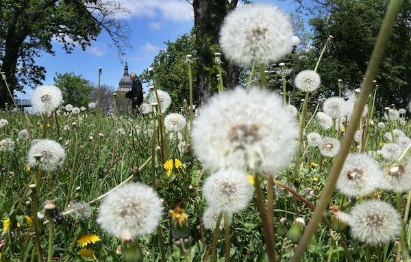 Dandelions have flowered and turned to seed in Loring Park as a pedestrian made her way through the park with the Basilica of St. Mary visible in the