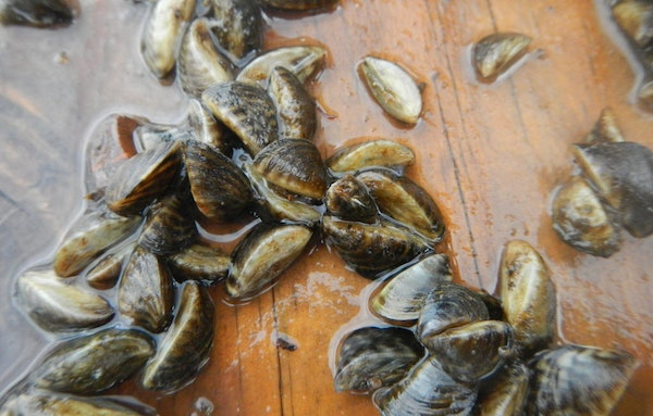 Thousands of zebra mussels were discovered in Lake Independence last fall, but it was too cold at that time to use Zequanox.