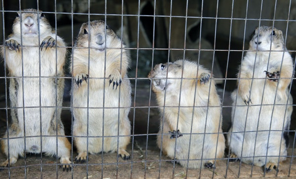 The existence of Fur-Ever Wild, a Lakeville-area fur farm and petting zoo, has brought numerous complaints from its rural Dakota County neighbors.