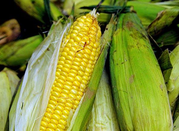 Freshly picked sweet corn.