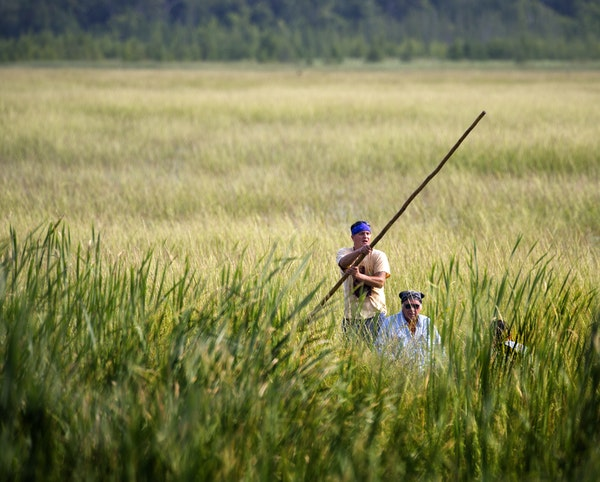 Todd Thompson and his father, Leonard, harvested wild rice from canoes on Hole-in-the-Day Lake near Nisswa, Minn., on Thursday morning.