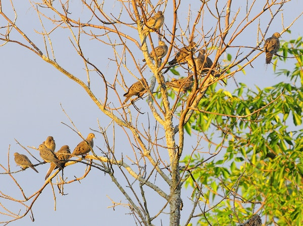 A mourning dove flock often favors midday loafing in a dead tree.