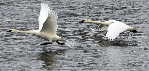 The state's trumpeter swan numbers are rising, thanks to a coordinated plan involving multiple organizations.