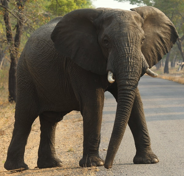 FLIE- In this photo taken on Thursday, Oct. 1, 2015, an elephant crosses the road in Hwange National Park, about 700 kilometers south west of Harare,