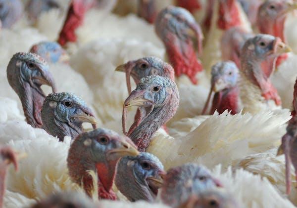 Turkeys on a Minnesota turkey farm.