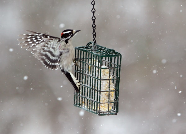 A male downy woodpecker goes for food.