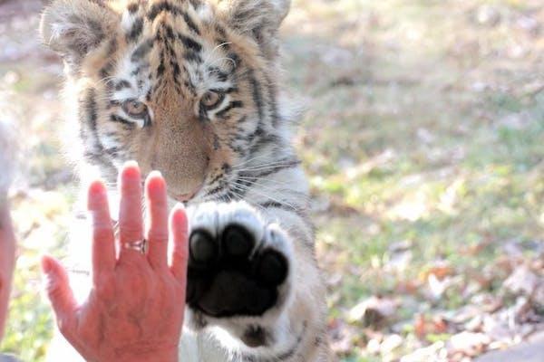 An Amur tiger cub at the Minnesota Zoo.