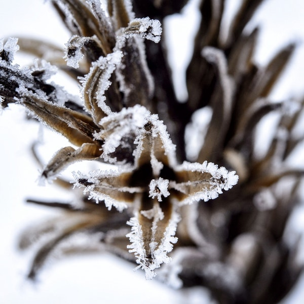 Dead weeds in an Apple Valley field provided the perfect canvas for mother nature to create frozen magic Monday morning, turning frozen fog into hoar