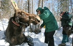 Research Biologist Mark Keech (Right) and MN Zoo Veterinarian Tiffany Wolf (left) work with 800 pound cow moose #294, fitting her with a radio collar