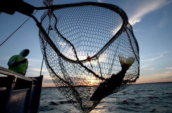 A walleye is netted on the Twin Pines Resort boat at sunset Wednesday, July 29, 2015, during an evening excursion on Lake Mille Lacs.