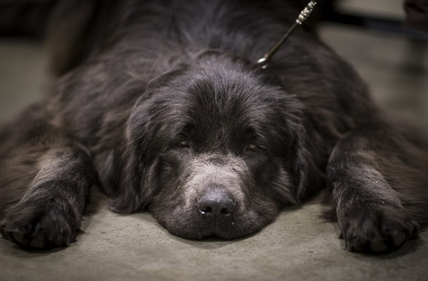 After a showing with owner Savannah Pollak of Cloquet gray Newfoundland Bowser was exhausted on the first day of the the annual Land O'Lakes Kennel Cl