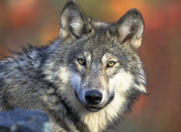 """The gray wolf is currently listed by the federal government as """"threatened"""" under the Endangered Species Act."""