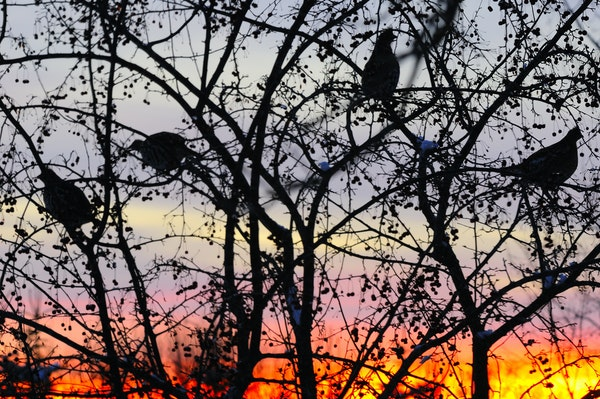Above:Slhouetted against a colorful sunset, four ruffed grouse fed on crabapples. Careful observation in the days before prefaced this photograph.