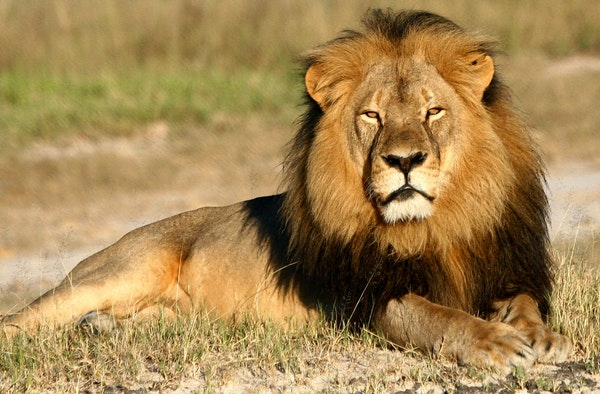 In this undated photo provided by the Wildlife Conservation Research Unit, Cecil the lion rests in Hwange National Park, in Hwange, Zimbabwe. Two Zimb