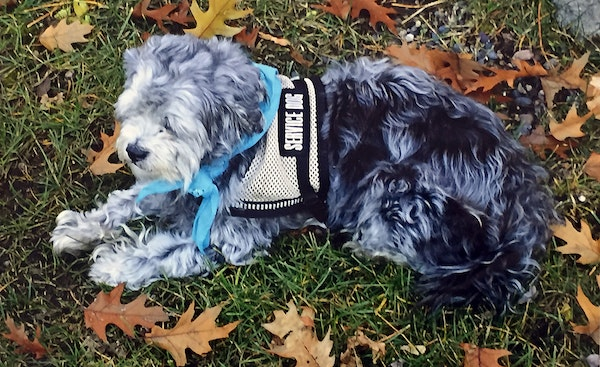 Baby, a 10-year-old Shih-poo, is a service dog that has helped Mike Heath with his post-traumatic stress disorder. The dog was stolen from Heath a cou